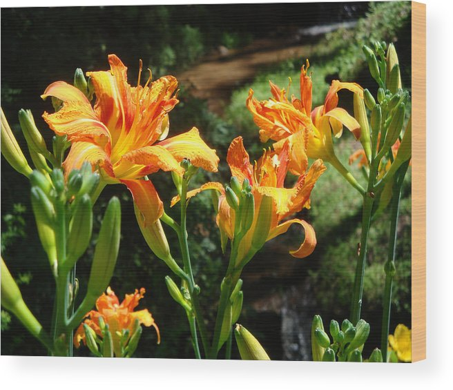 Daylily Wood Print featuring the photograph Sunshine by Jean Blackmer