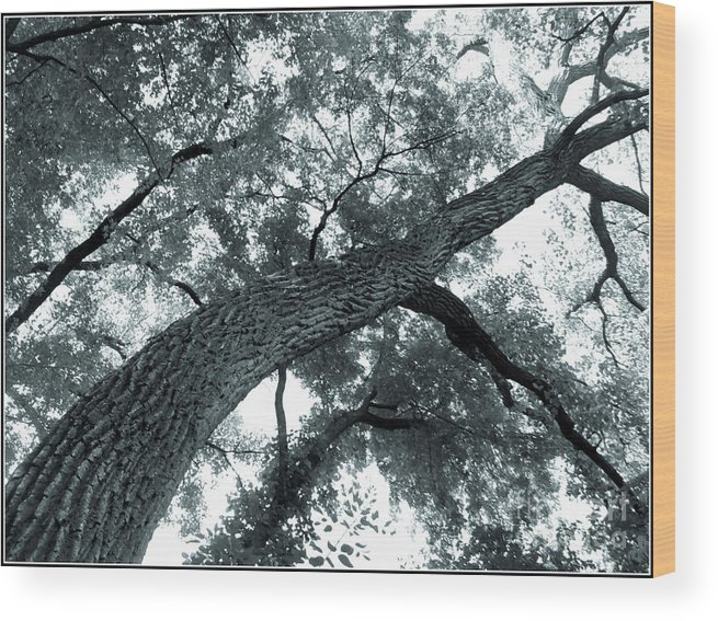 Trees Wood Print featuring the photograph Swirly Tree by Angie Staft