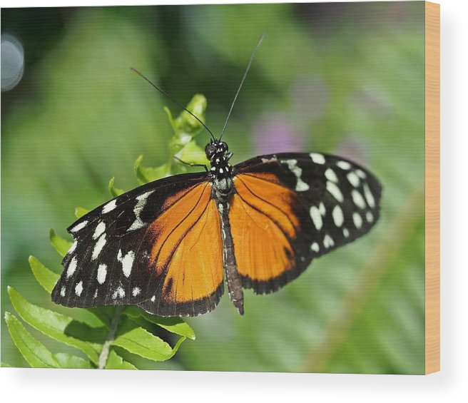 Butterfly Wood Print featuring the photograph Tiger On The Leaf by Atchayot Rattanawan