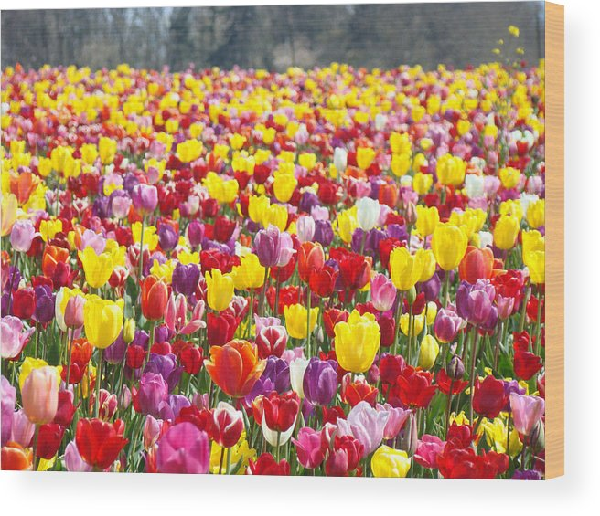 Red Wood Print featuring the photograph Tulip Flower Festival Art Prints Spring by Baslee Troutman