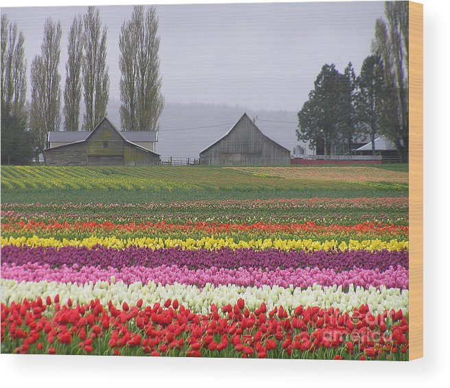 Tulips Wood Print featuring the photograph Tulip Town Barns by Louise Magno