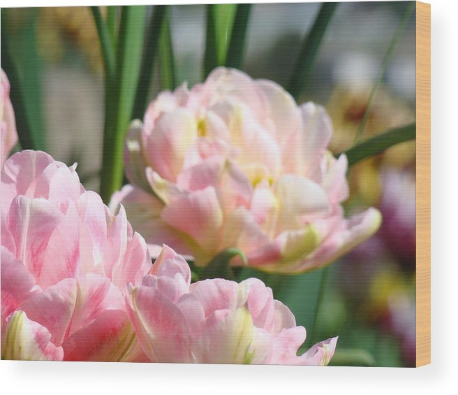 Pink Wood Print featuring the photograph Tulips Flowers Garden Art Prints Pink Tulip Floral by Baslee Troutman
