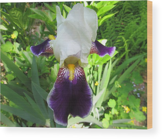 Flower Wood Print featuring the photograph Two Tone Iris by Robert Speziale