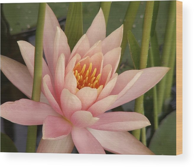 Lilium Wood Print featuring the photograph Water Lily by Sandy Molinaro