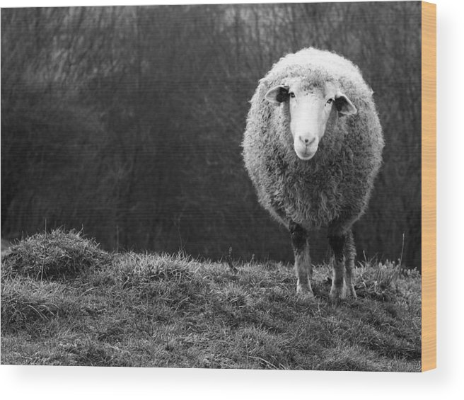 Sheep Wood Print featuring the photograph Wondering Sheep by Ajven