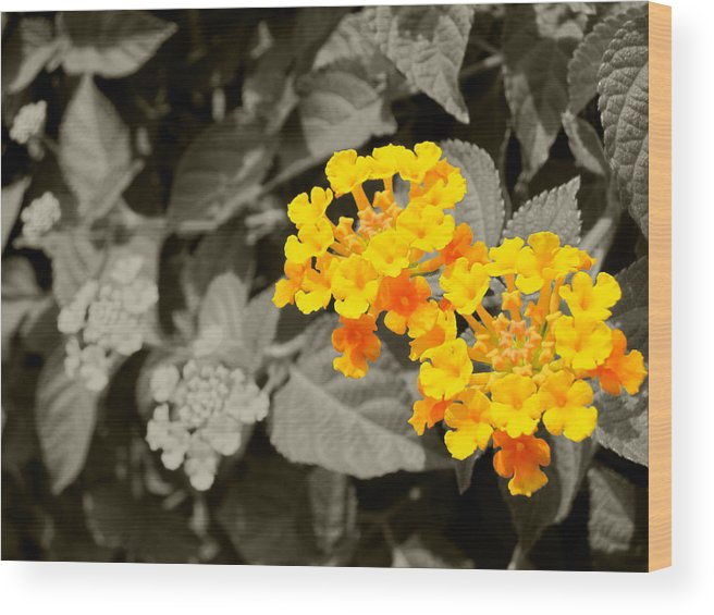 Yellow Flowers. Colour Splash. Yellow. Wood Print featuring the photograph Yellow Flowers by Pritesh Divekar