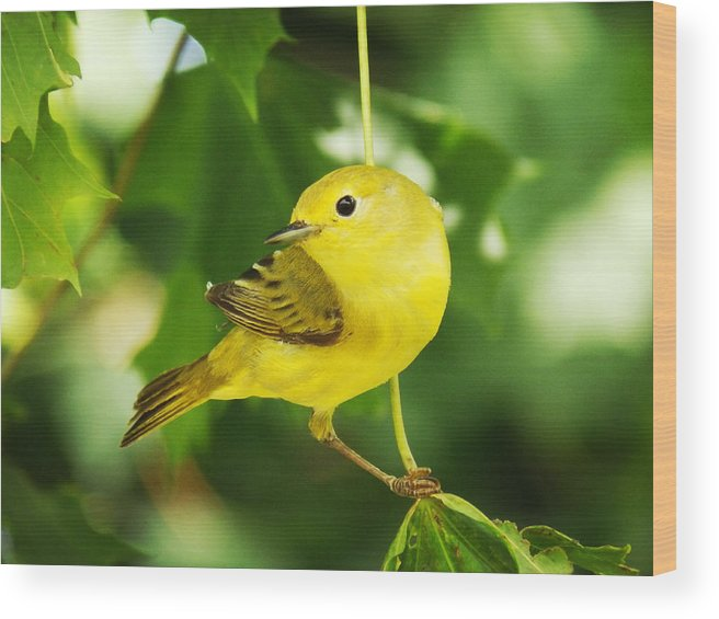 Portrait Wood Print featuring the photograph Yellow Warbler by Zinvolle Art