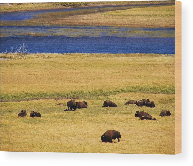 Yellowstone Wood Print featuring the photograph Yellowstone Bison Herd by Indigo Wild Photography