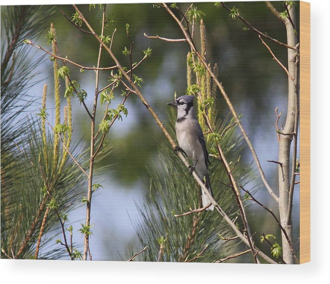 Bluejay Wood Print featuring the photograph Out On A Limb by Travis Truelove