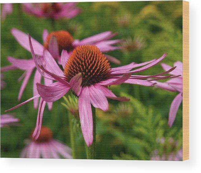 Jouko Lehto Wood Print featuring the photograph Eastern Purple Coneflower by Jouko Lehto