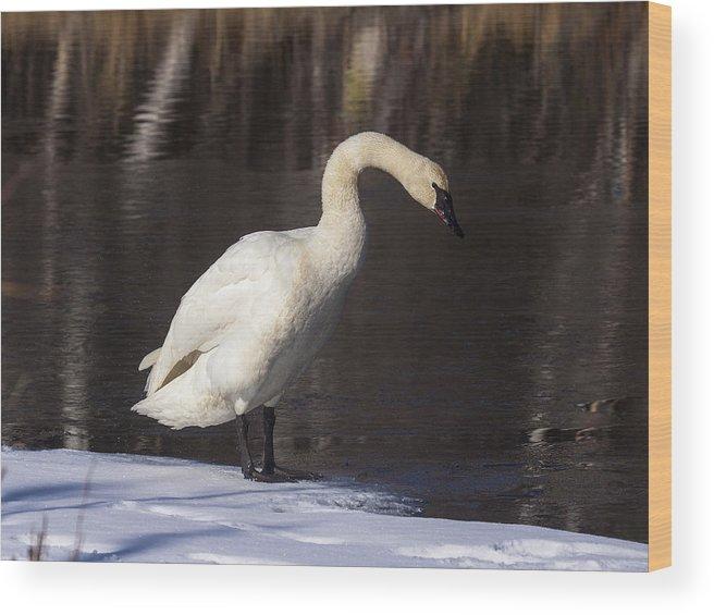 Doug Lloyd Wood Print featuring the photograph Trumpeter Swan by Doug Lloyd