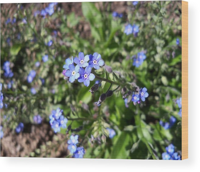 Flower Wood Print featuring the photograph Blue Forget Me Not by Corinne Elizabeth Cowherd