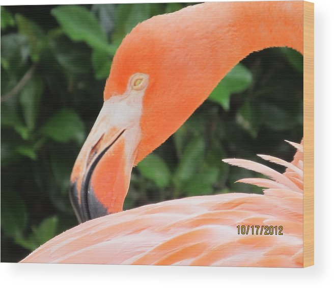 Grooming Flamingo Wood Print featuring the photograph Flamingo by Kristy Bragg