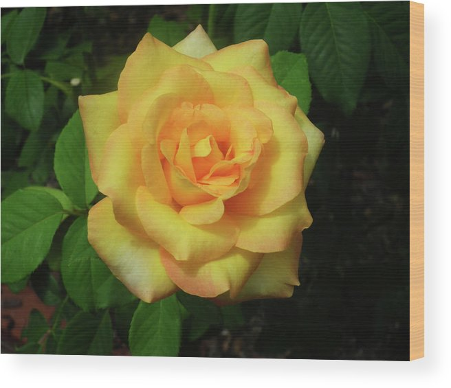 Rose. Roses Wood Print featuring the photograph Gold Medal Rose by Wayne Skeen