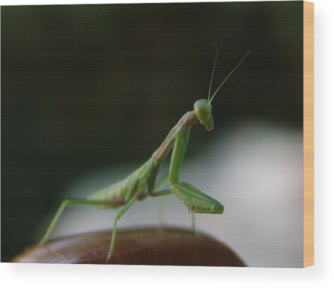 Mantis Wood Print featuring the photograph Green Mantis by Alessandro Della Pietra
