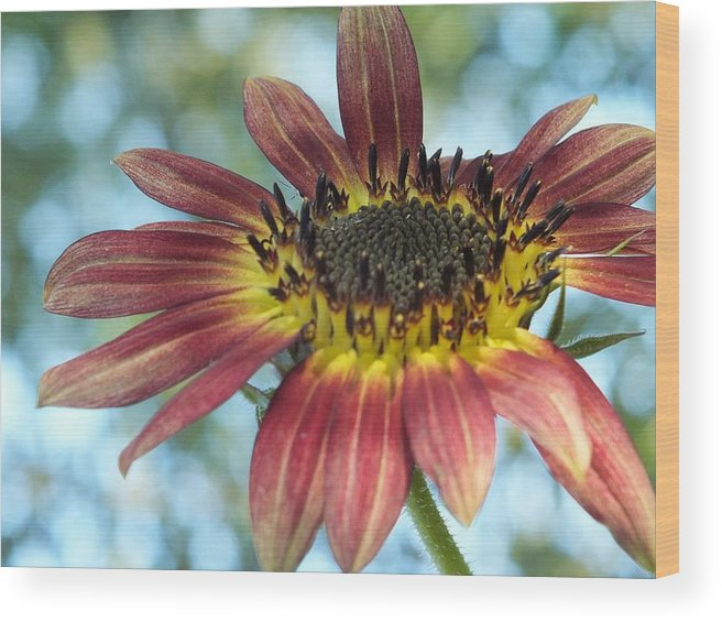 Red Wood Print featuring the photograph Happy Red Sunflower by Christina Shaskus