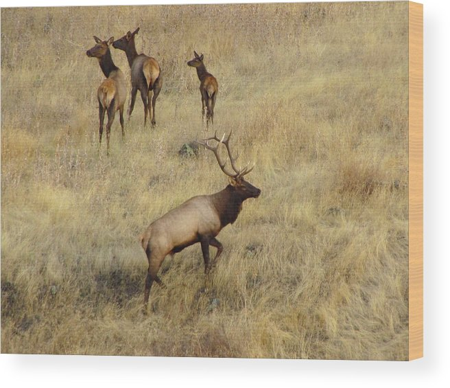 Rocky Mountain Elk Lewiston Idaho Herd Bull Autumn Wildlife Antlers Animal Wood Print featuring the photograph Herd Bull by Les Harrington