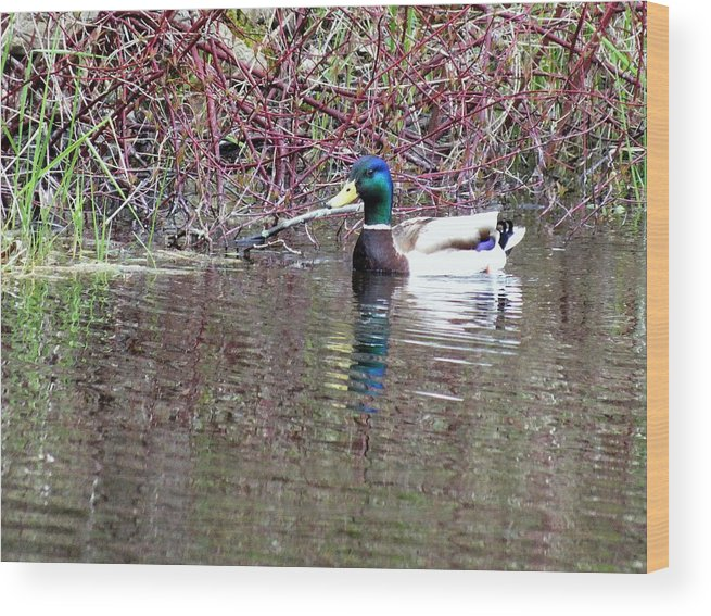 Duck Wood Print featuring the photograph Mallard On A Pond by Don Downer