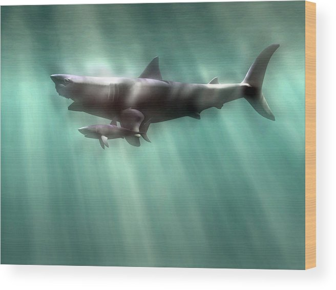 19b391e9b5 Carcharodon Megalodon Wood Print featuring the photograph Megalodon Shark  And Great White by Christian Darkin