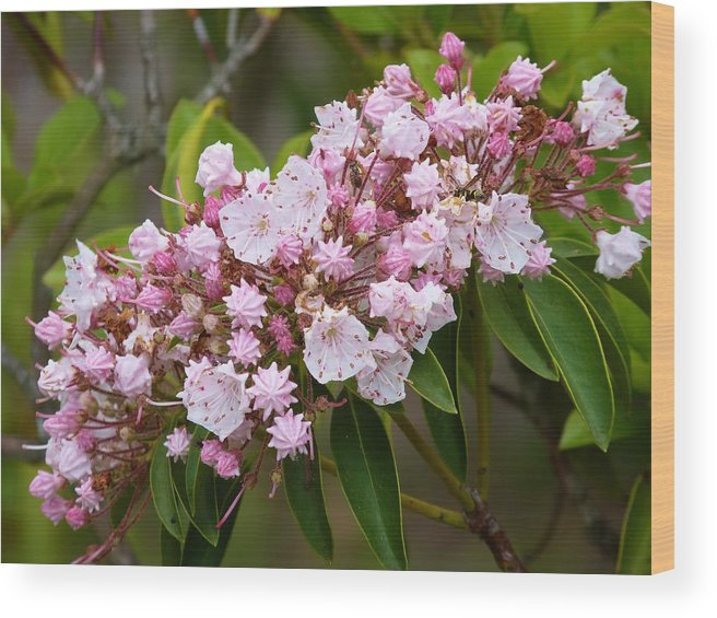 Flowers Wood Print featuring the photograph Mountain Laurel Blooming by Jeanette Oberholtzer