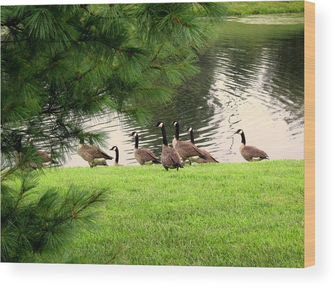 Canadian Geese Wood Print featuring the photograph Out For A Swim by Wallace Marshall
