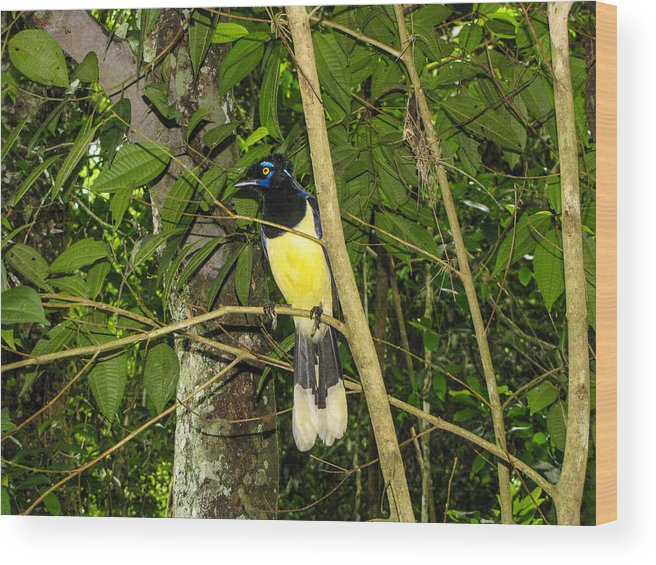 Plush-crested Wood Print featuring the photograph Plush-crested Jay by David Gleeson