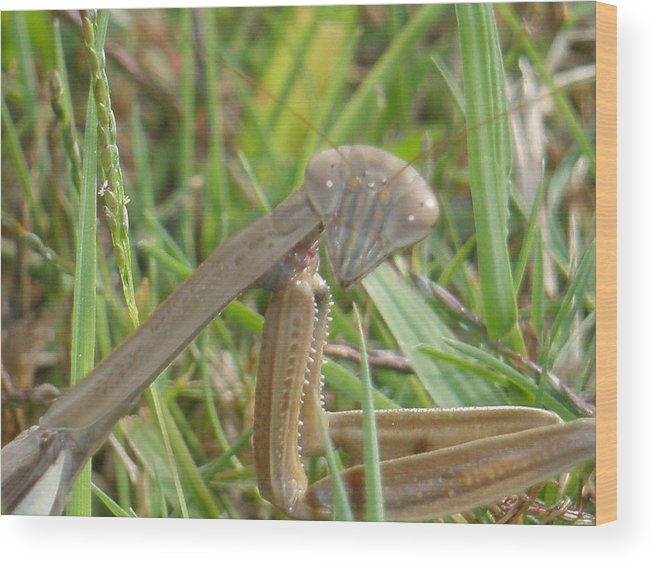Insects Wood Print featuring the photograph Praying Mantis by Tracy Fusco