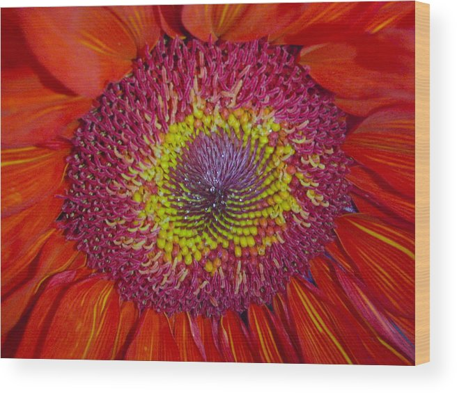 Daisy Wood Print featuring the photograph Red Gerber Daisy by Senske Art