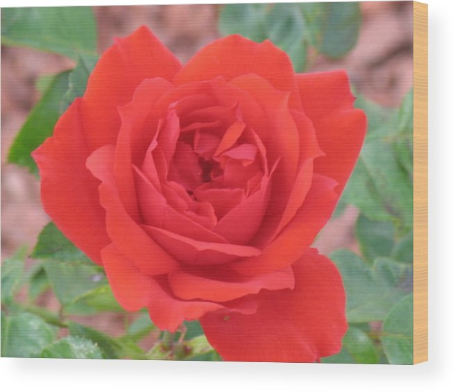Red Rose Wood Print featuring the photograph Red Rose 2 by Chrisse Hartley