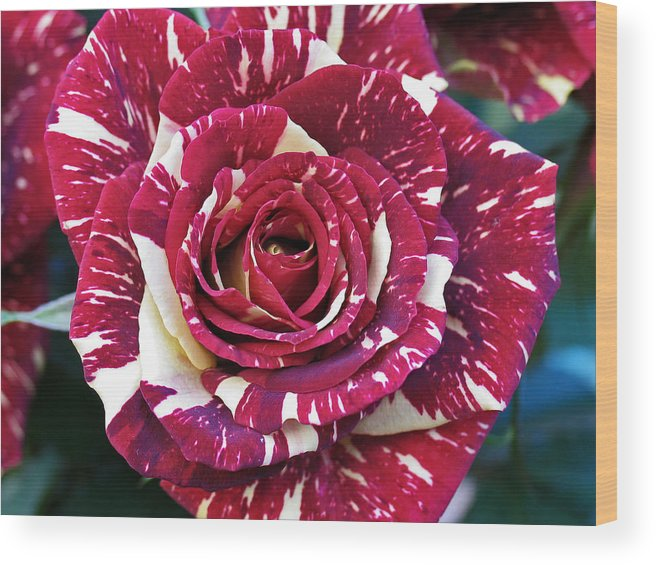 Flower Wood Print featuring the photograph Rose 1 by David Van Zet