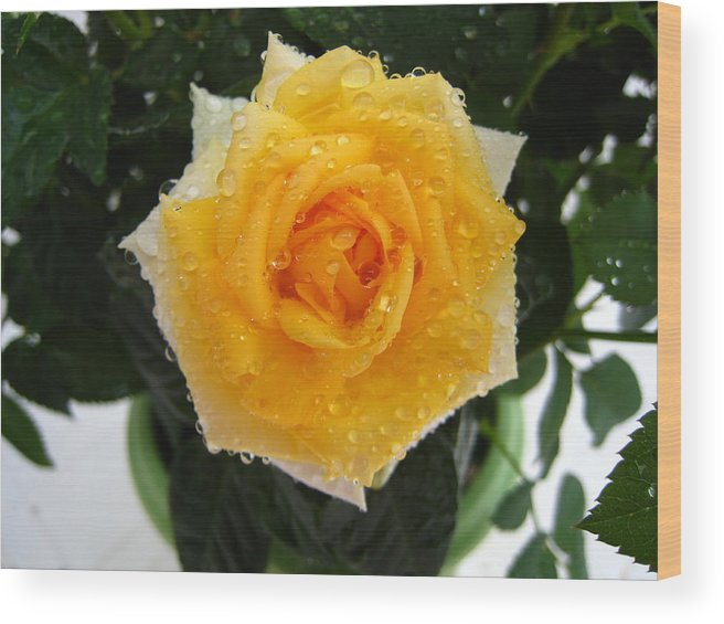 Ose Wood Print featuring the photograph Rose With Droplets And Green Leaves by Cedric Sureau