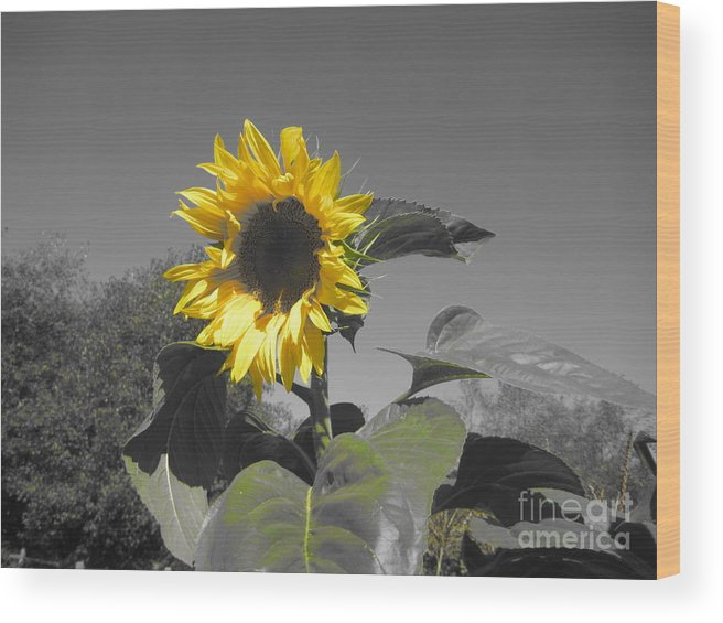 Wood Print featuring the photograph Sunflower by Nikki Taylor
