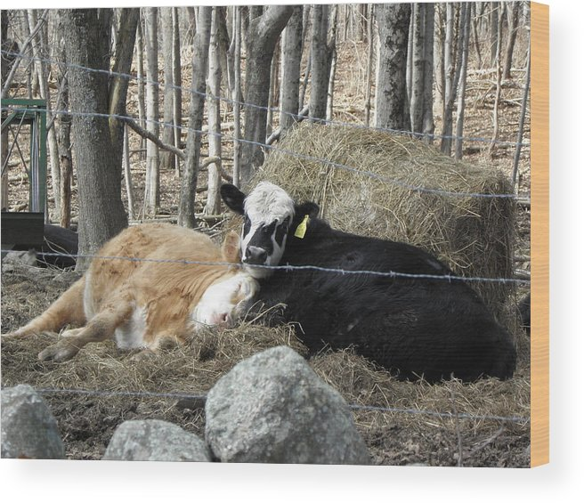 Bulls Wood Print featuring the photograph Their Last Days Together by Kim Galluzzo Wozniak