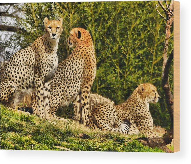 Wildlife Wood Print featuring the photograph Three Cats by Anthony Walker Sr