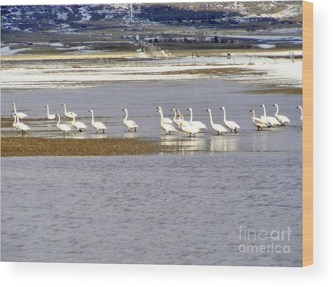 Swans Wood Print featuring the photograph Wading Swans by Woody Wilson