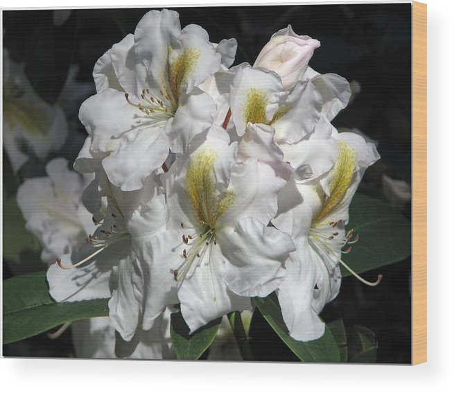 Light Wood Print featuring the photograph White Gold by Chris Anderson