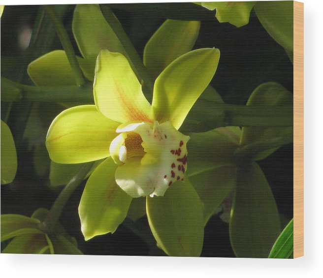 Yellow Orchid Wood Print featuring the photograph Yellow Cymbidium by Alfred Ng