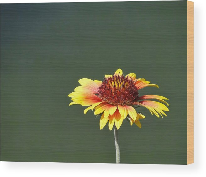 Yellow Wood Print featuring the photograph Yellow Flower by Alan Hutchins