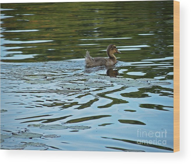 Scott Wood Print featuring the photograph Young Male Garganey by Scott Hervieux