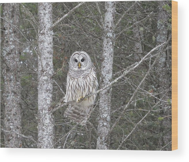 Owls Barredowl Raptors Nature Wildlife Bonnielouferris.com Sfoc Pilot Bonnielouferris Wildlifeart Wood Print featuring the photograph Angel Owl by Bonnie-Lou Ferris