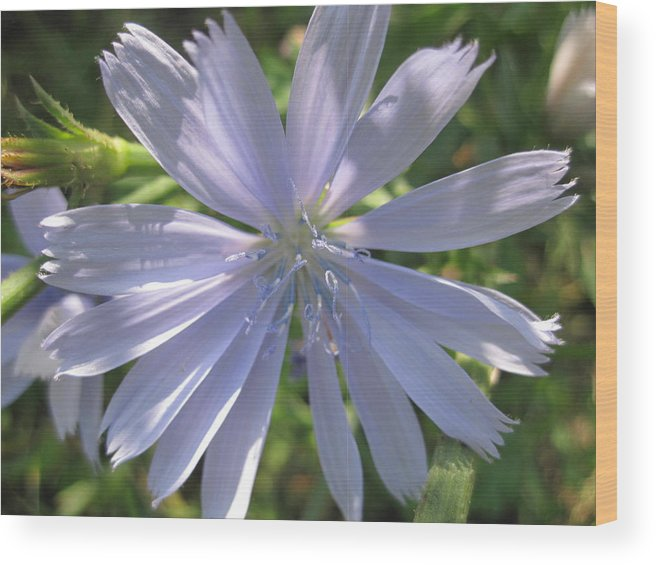 Flowers Wood Print featuring the photograph Little Star by Rebecca Mento