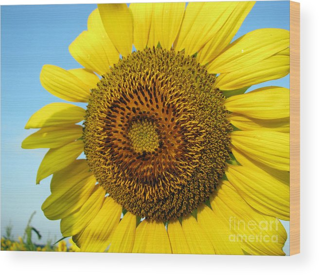 Sunflower Wood Print featuring the photograph Sunflower Series by Amanda Barcon