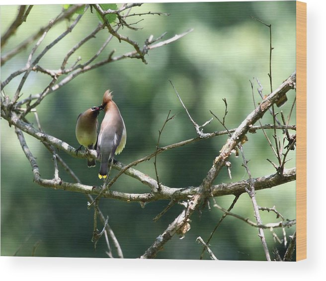 Nature Wood Print featuring the photograph Cedar Waxwing by Jack R Brock