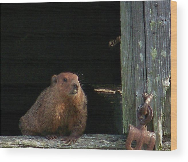 Groundhog Wood Print featuring the photograph 5003-groundhog by Martha Abell