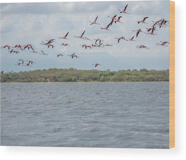Birds Wood Print featuring the digital art Colombia Sanctuary Of Flamingos Near Riohacha by Carol Ailles