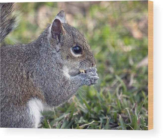 Squirrel Wood Print featuring the photograph Eastern Gray Squirrel by Allan Hughes