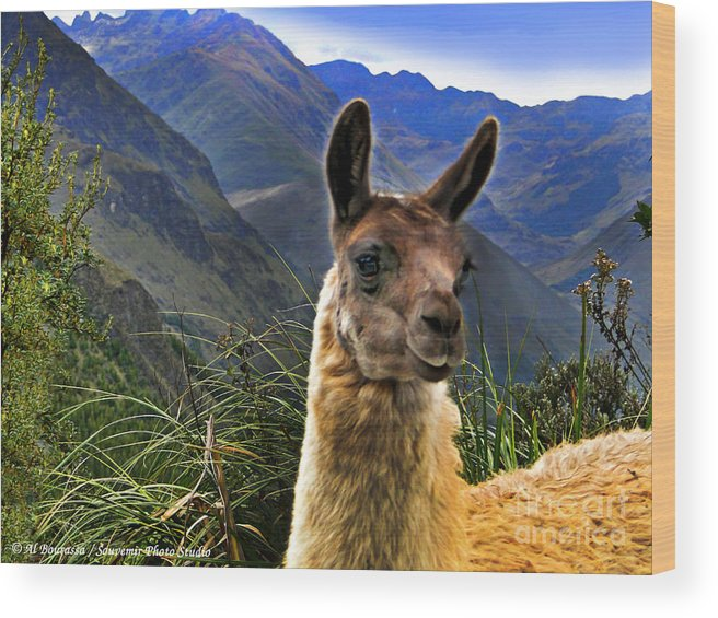 Llama Wood Print featuring the photograph A Llama In The Cajas In Ecuador by Al Bourassa