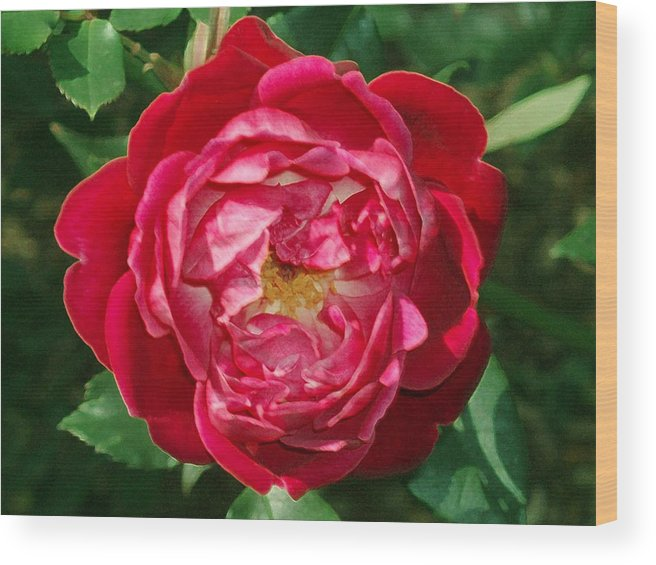 Rose Wood Print featuring the photograph Amazing Rose by Eric Howell