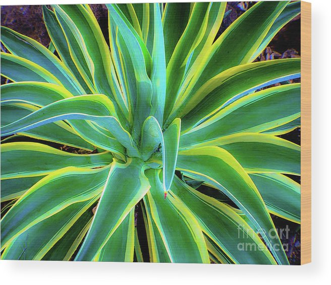 Agave Wood Print featuring the photograph An Agave In Color by D Davila