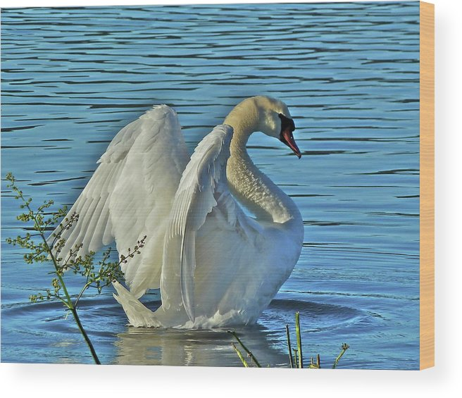 Swan Wood Print featuring the photograph Angel Wings by Diana Hatcher